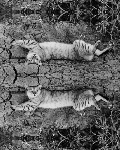 reflected black and white image of a cat near a New Mexico chili field